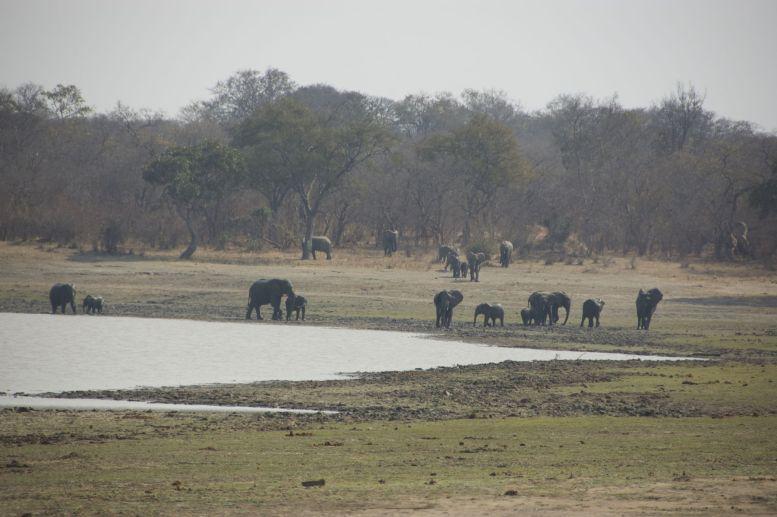Grote groep olifanten met veel jongen komt van rechts