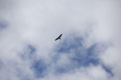 Roofvogel, ik denk een zeearend, maar weet het niet zeker.