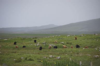 Schotse highlanders blijven leuk, ook al zijn dit dan meer islanders dan higlanders...