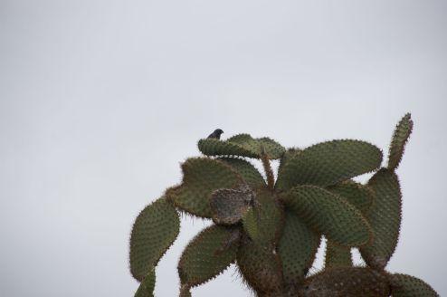 cactus vink