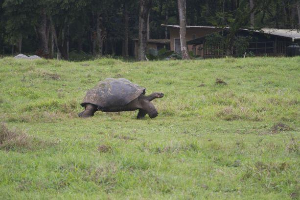 reuzenschildpad op hoge poten