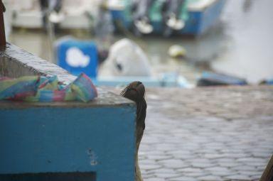 zeeleeuw op vismarkt Puerto Ayora