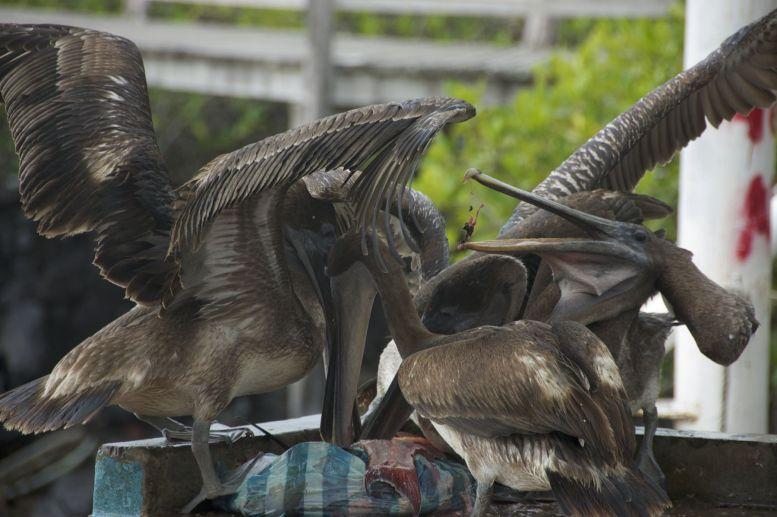 pelikanen op vismarkt Puerto Ayora