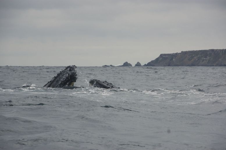 2 bultruggen bij Puerto Lopez