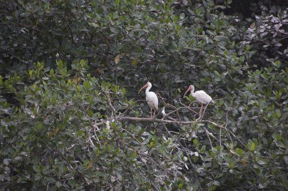 Witte ibissen