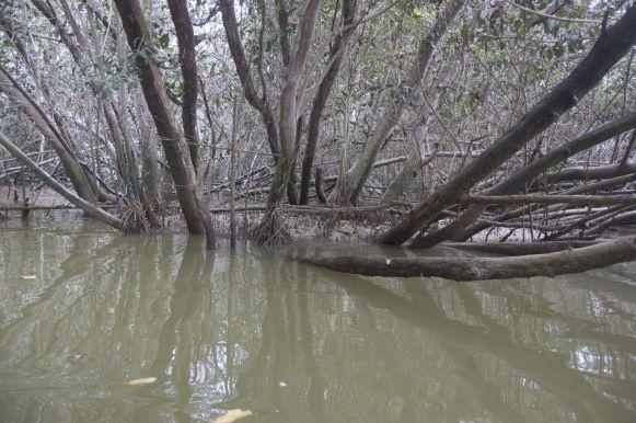 Mangrove op Isla Corazón.