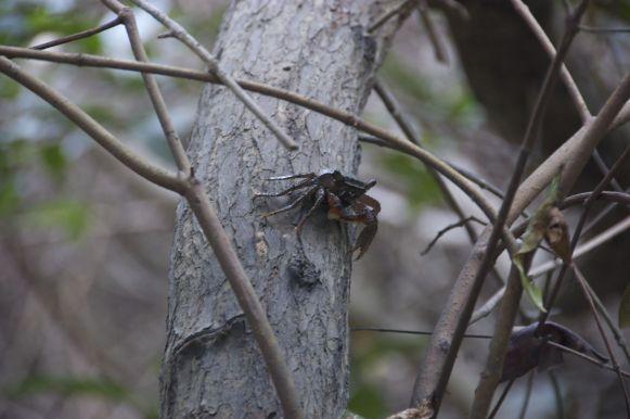 Een krab verwacht je niet in een boom, maar in de mangrove is dat toch wat je ziet.