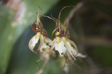 Eén van de vele orchidee soorten die we zien in Mindo.