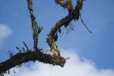 vogel in het nevelwoud bij Mindo