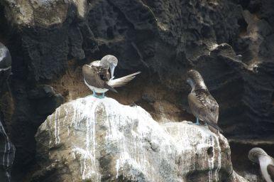 de boobies staan met hun blauwe voeten op de wit-onder-gepeopte rotsen