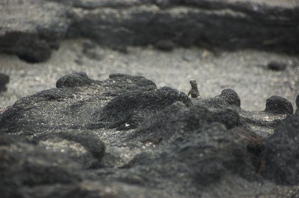 Lava lizard piept boven het lava veld uit.