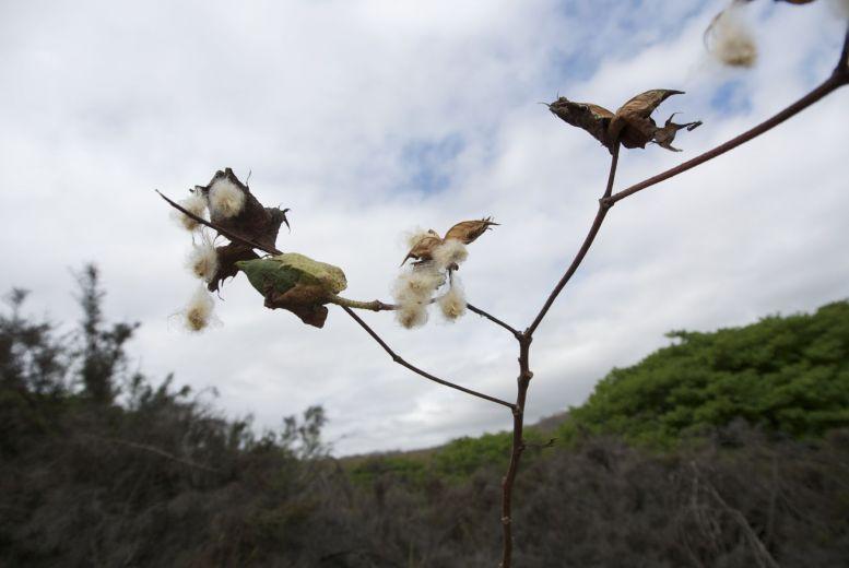 Darwin's cotton