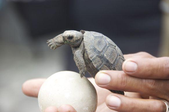 jonge reuzenschildpad