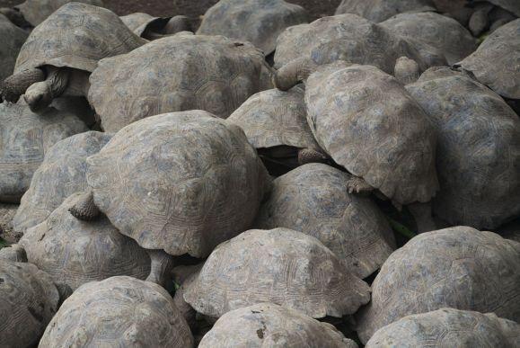 jonge reuzenschildpadden bij breeding center bij Puerto Villamil