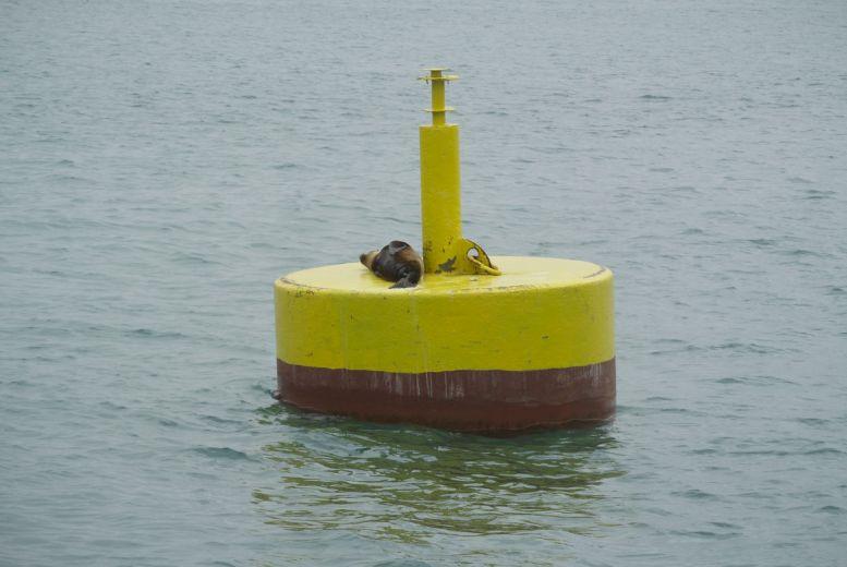 zeeleeuw op boei