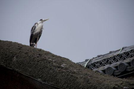 Ook in Japan zijn reigers echte stadsvogels geworden.