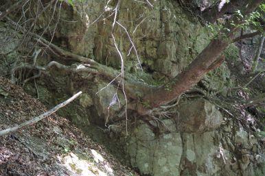 We verbazen ons regelmatig over bomen die zich staande weten te houden op bijna verticale wanden.