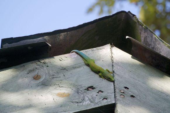prachtige groen met blauwe gekko's kom je veel tegen.