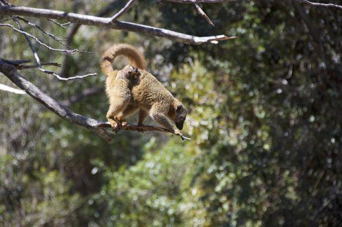 Terwijl we zitten te eten trekt een stoet lemuren voor ons langs.