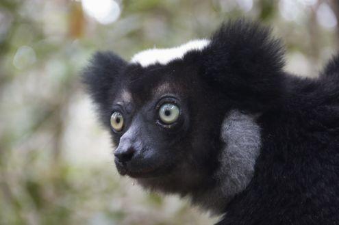 De jonge indri heeft er geen enkel probleem mee om heel lang voor ons te poseren.