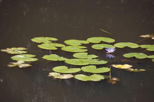 Waterlelies kom je ook echt overal ter wereld tegen, maar ze blijven mooi.