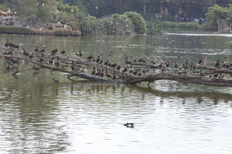 De hoeveelheid watervogels is gigantisch. Omgevallen bomen in het water zijn populaire zitplekken.