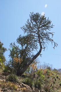 grote cactusboom