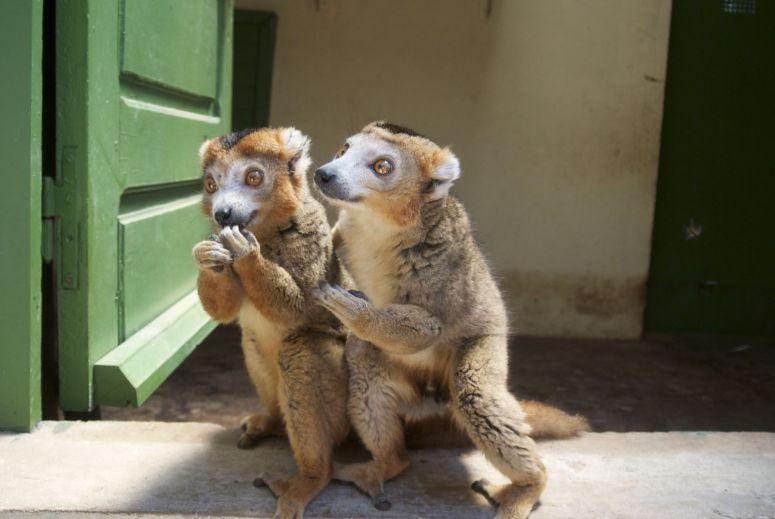 Deze lemuren stelen echt mijn hart! Ze zijn zo zoet, komt vast door al die honing.