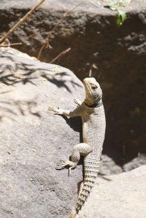 Madagaskar-halsbandleguaan met zijn prachtige staart.