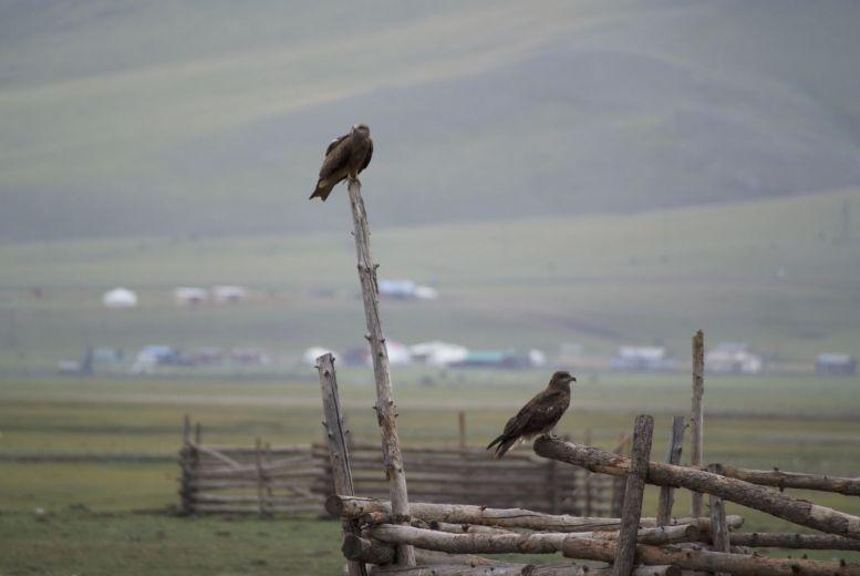 Er zijn hier niet veel plekken waar roofvogels een beetje hoog kunnen zitten, van deze stellage wordt dan ook dankbaar gebruik gemaakt.