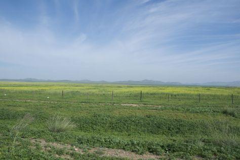 En dan opeens een volkomen geel veld, koolzaad gaan we van uit.