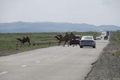 Automobilisten zijn hier wel gewend aan overstekend vee. Maar voor ons is het heel bizar om te moeten stoppen voor kamelen.