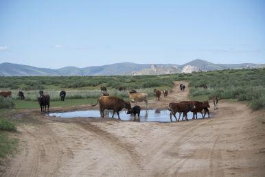 Tja en dan is de weg opeens een poel met koeien erin.