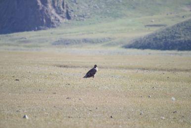 Een fikse roofvogel (ik vermoed een adelaar).