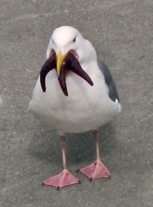 Unidentified gull eats unidentified starfish, Begim.com