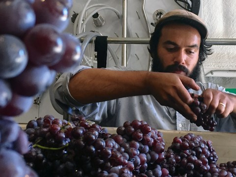 a in a beard and hat sorts through grapes