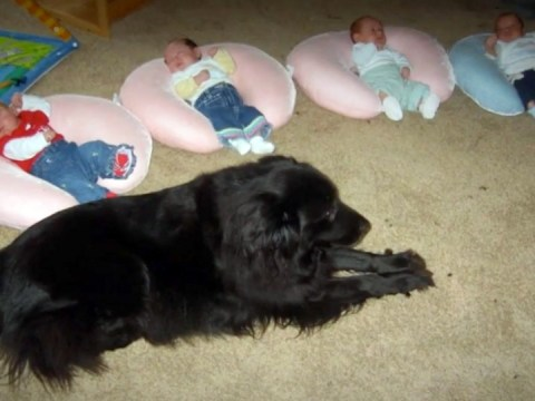 four infants sit on pillows on the ground, guarded by a big black labrador