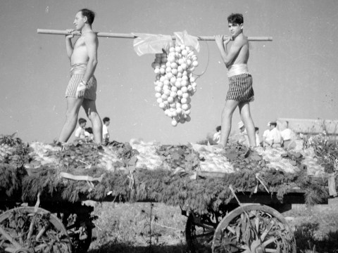 Two young men carry grapes at the 1953 Shavuot celebration at Kibbutz Hazorea, in reference to both the biblical seven species and the 12 spies sent by Moses to surveil the Land of Israel. (Photo/National Library of Israel