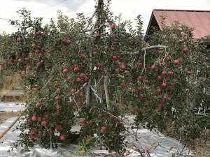 下諏訪町 リンゴ畑