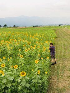 原村のヒマワリ畑