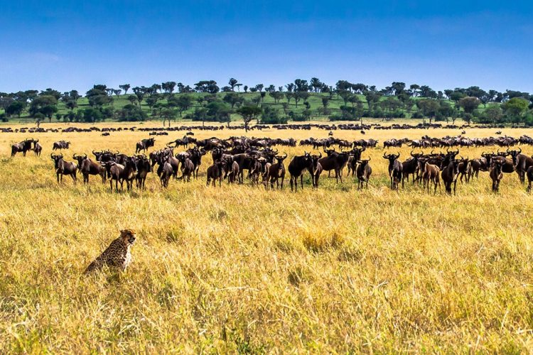 Great Migration Unfolding in Serengeti