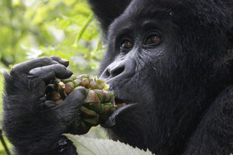Meal time: Mountain Gorilla tracking in uganda