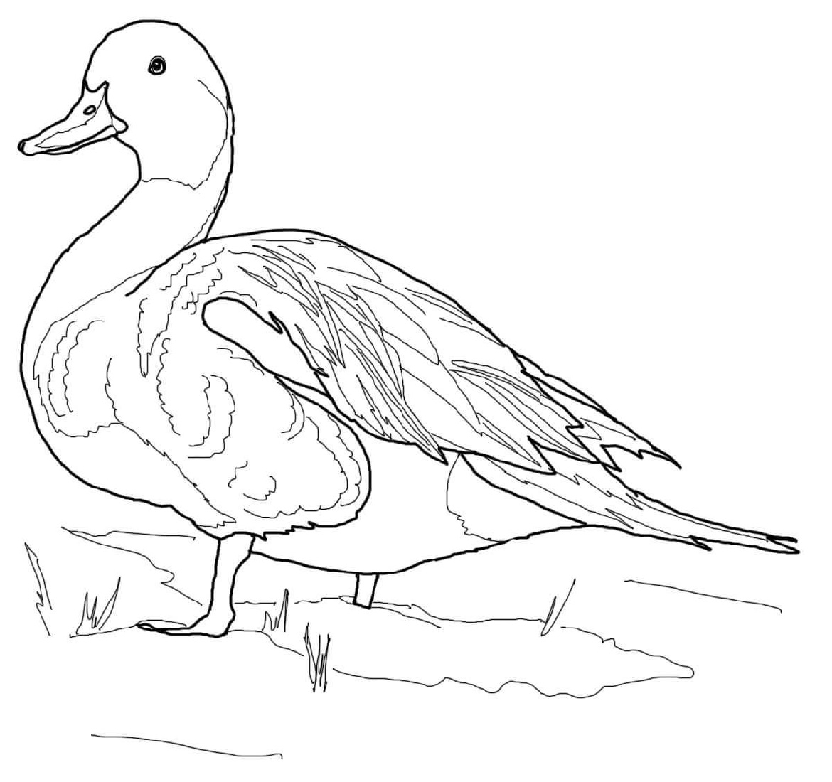 Duck Coloring Pages Free