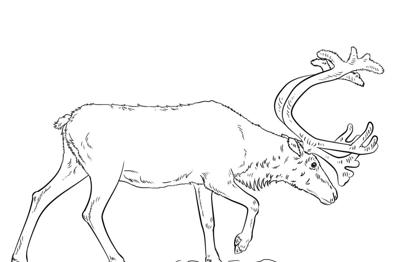 Caribou Reindeer Coloring Pagesa