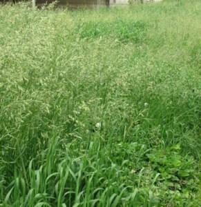 tall weeds