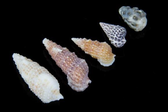 Segment A, Dead Sea seashells
