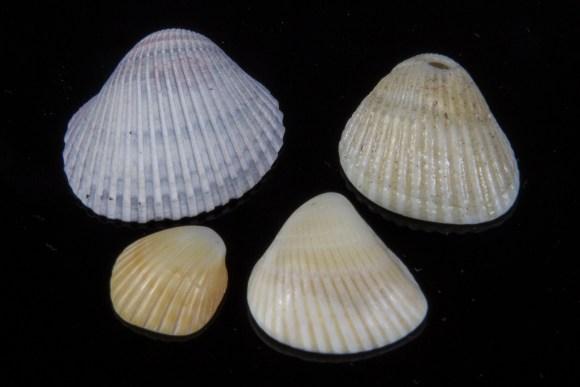Scallop-type shells