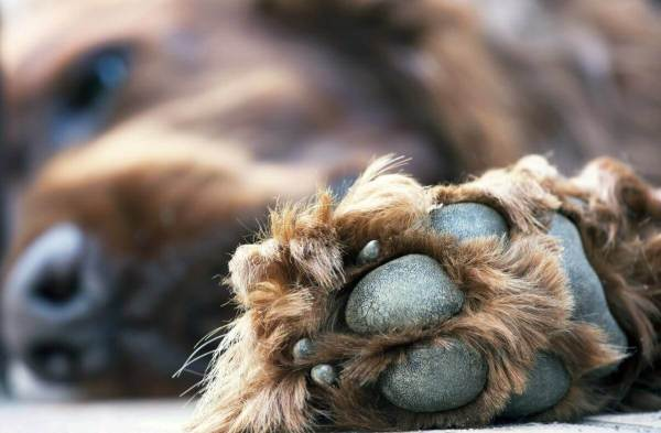 Coconut oil for dogs paws. Coconut oil for dogs cracked paws.