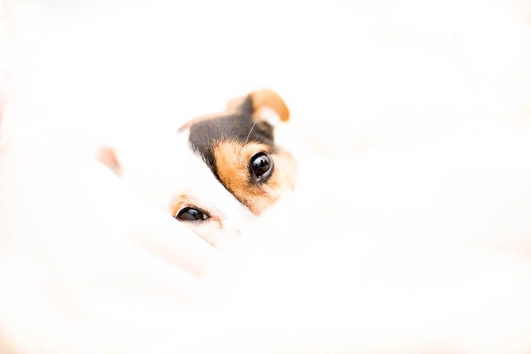 8 month old miniature fox terrier puppy