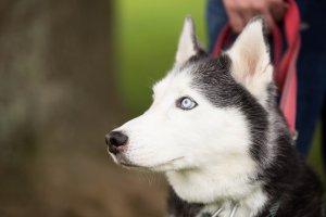 husky-dog-training Washinton DC